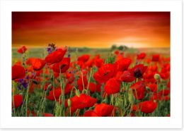 Scarlet red poppy field