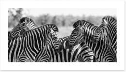 Zebra herd panoramic