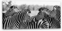 Zebra herd panoramic Stretched Canvas 80752503