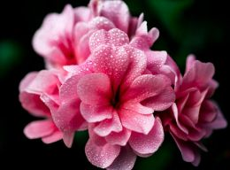 A blush with dew