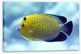 Goldflake angelfish