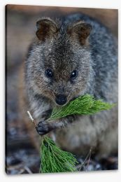 Quokka Stretched Canvas LH0009