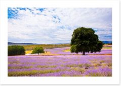 Picture perfect lavender farm