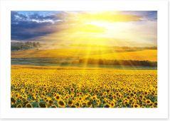 Sunflower field sunset Art Print 39907923