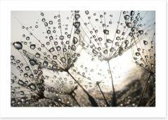 Dandelion dew drops