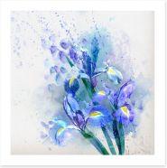 Watercolor iris