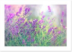 Soft focus lavender